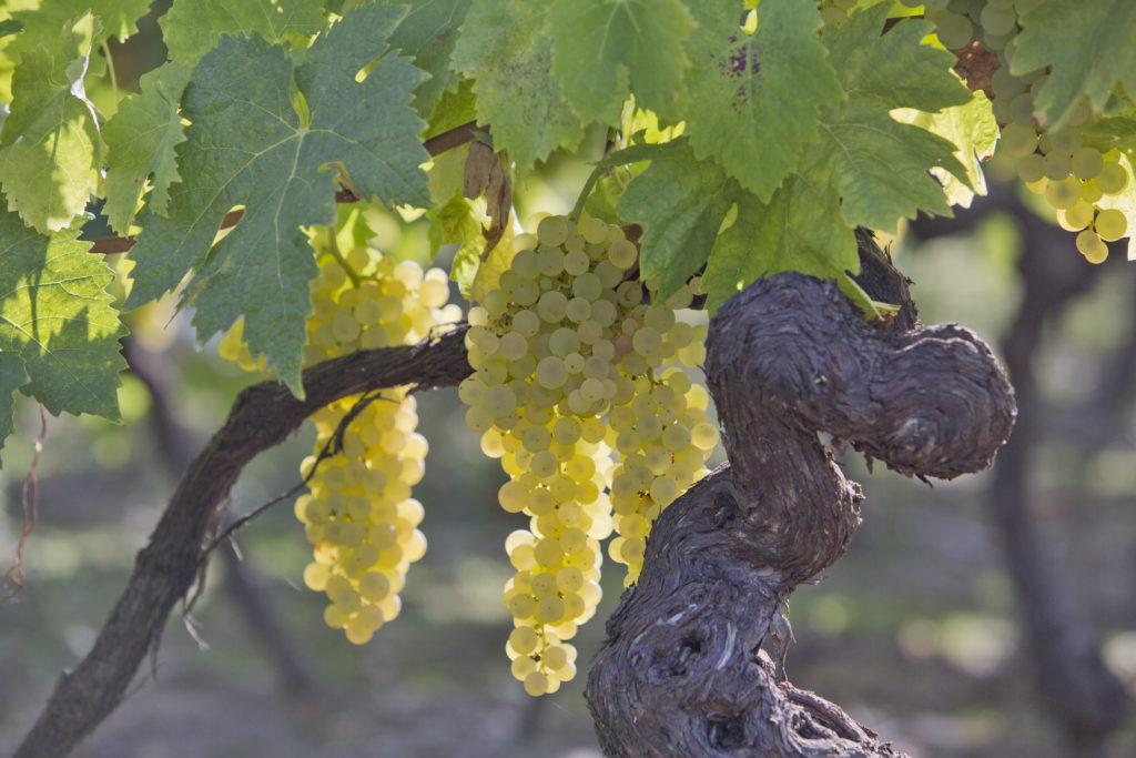 Pineau des Charentes raisin